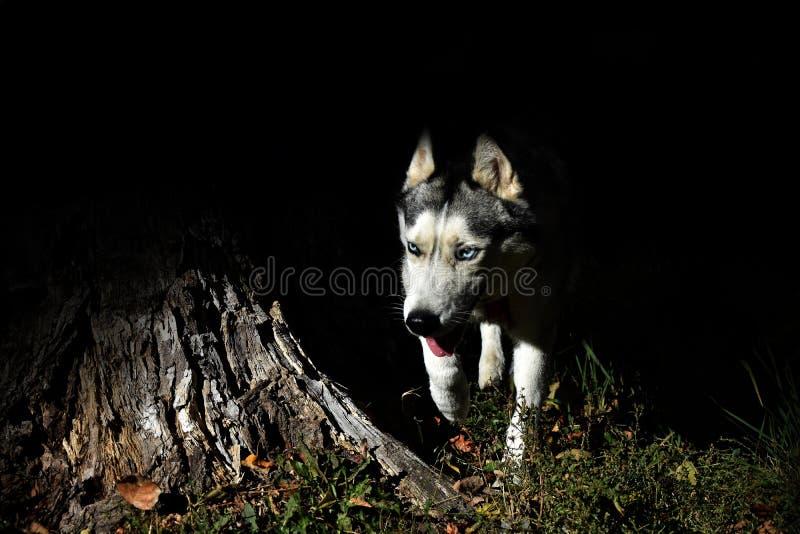 Ο λύκος έκρυψε στις σκιές στοκ φωτογραφίες