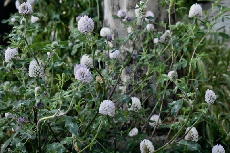 Ο μάλλινος κάρδος, eriophorum cirsium στοκ φωτογραφίες