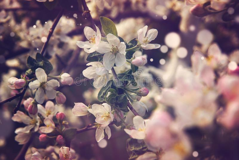 Ο μαγικός ενός ρόδινου ανθίζοντας δέντρου μηλιάς την άνοιξη στοκ εικόνα με δικαίωμα ελεύθερης χρήσης