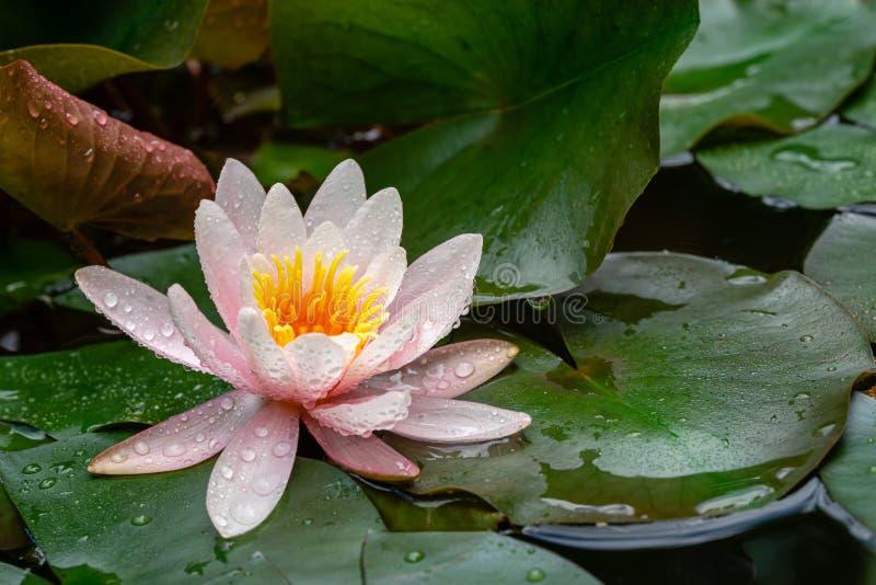 Ο μαγικός ρόδινος όμορφος κρίνος ή ο λωτός νερού ανθίζει Marliacea Rosea στην παλαιά λίμνη Τα πέταλα Nymphaea καλύπτονται με τις  στοκ εικόνες