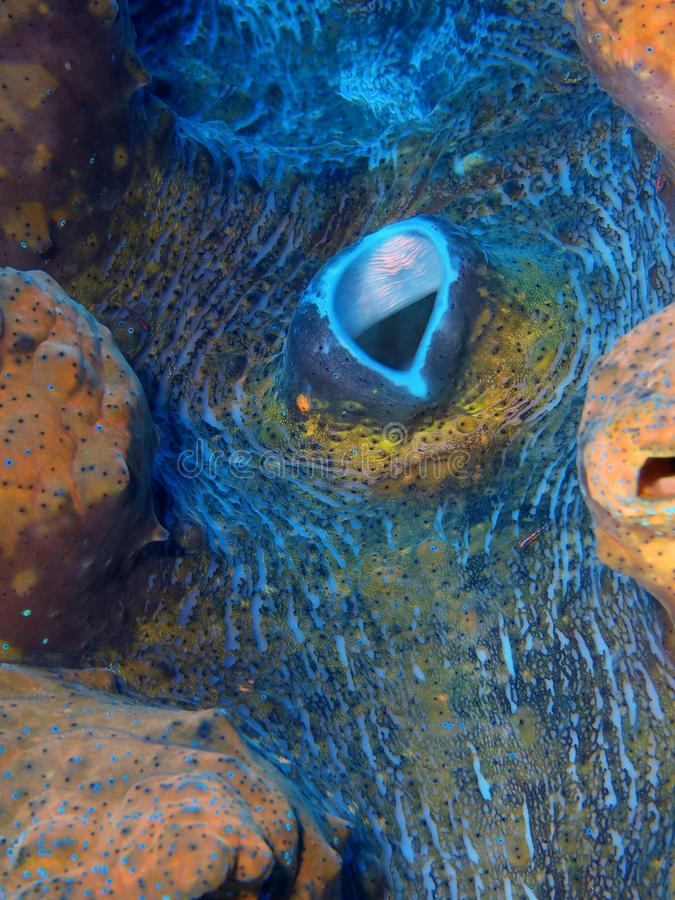 Ο μανδύας μαλακίων είναι tridactic στοκ εικόνες