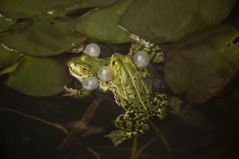 Ο μαρς βάτραχος Rana γελοία στοκ φωτογραφία