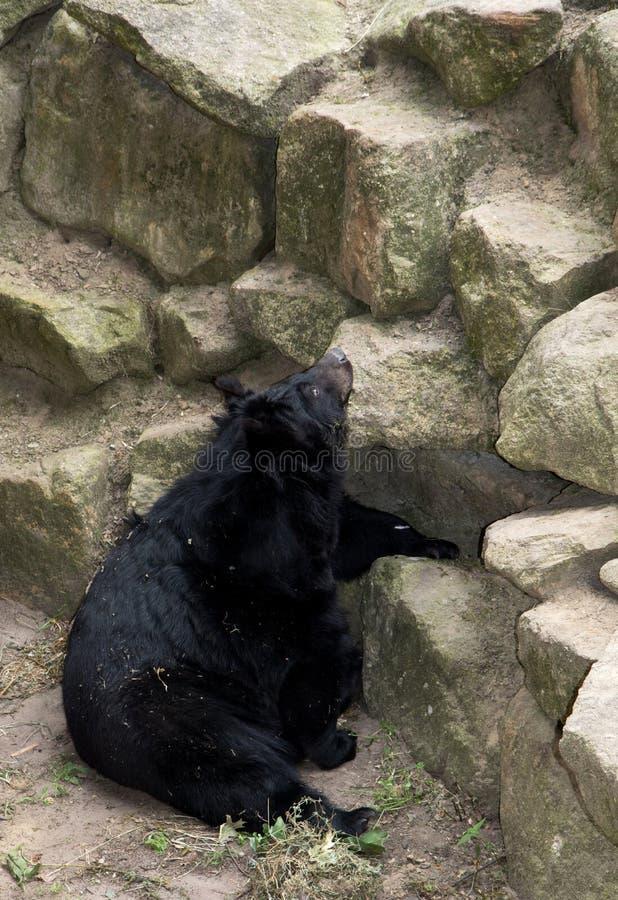 Ο Μαύρος αντέχει ανωτέρω το ζωολογικό κήπο στη Γερμανία στοκ φωτογραφίες