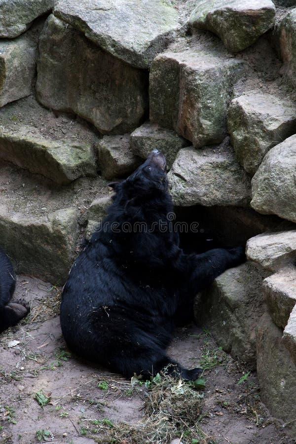 Ο Μαύρος αντέχει στις πέτρες στο ζωολογικό κήπο στη Γερμανία στοκ φωτογραφίες με δικαίωμα ελεύθερης χρήσης