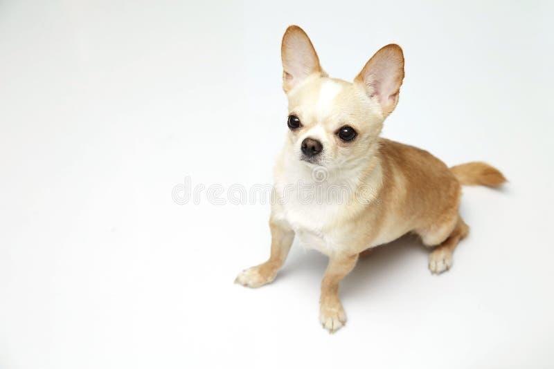 Ο Μαύρος και ντυμένη Chihuahua κρέμας μαυρίσματος πολύ πέρα από το άσπρο υπόβαθρο στοκ φωτογραφία με δικαίωμα ελεύθερης χρήσης