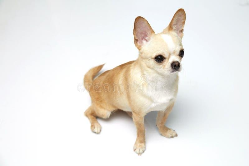 Ο Μαύρος και ντυμένη Chihuahua κρέμας μαυρίσματος πολύ πέρα από το άσπρο υπόβαθρο στοκ εικόνες