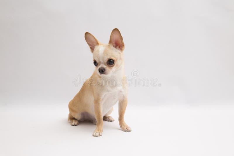 Ο Μαύρος και ντυμένη Chihuahua κρέμας μαυρίσματος πολύ πέρα από το άσπρο υπόβαθρο στοκ εικόνα με δικαίωμα ελεύθερης χρήσης