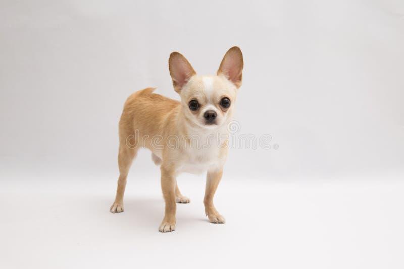 Ο Μαύρος και ντυμένη Chihuahua κρέμας μαυρίσματος πολύ πέρα από το άσπρο υπόβαθρο στοκ φωτογραφίες με δικαίωμα ελεύθερης χρήσης