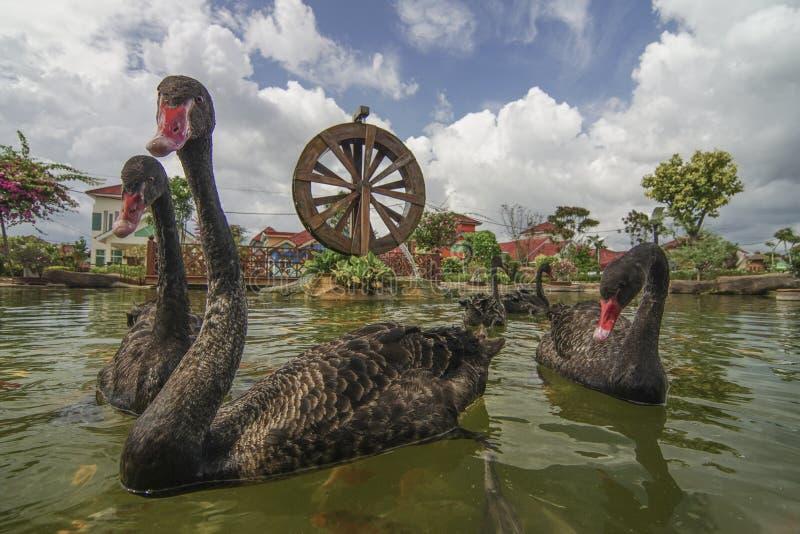 Ο μαύρος κύκνος κολυμπά με τα ψάρια koi στον κήπο με το watermill στοκ εικόνες