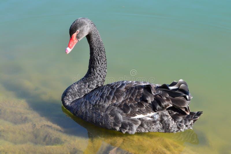 Ο μαύρος κύκνος κολυμπά μόνο σε μια σαφή λίμνη στοκ φωτογραφίες με δικαίωμα ελεύθερης χρήσης