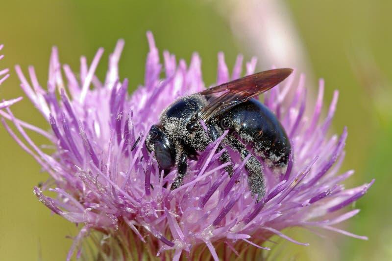 ο Μαύρος μελισσών στοκ εικόνα με δικαίωμα ελεύθερης χρήσης