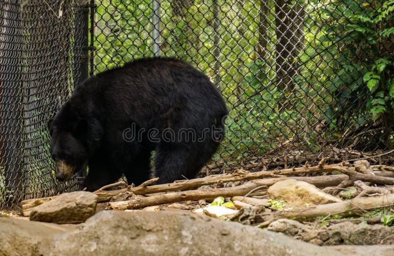 Ο Μαύρος της βόρειας Καρολίνας αντέχει - Ursus αμερικανικό στοκ φωτογραφίες με δικαίωμα ελεύθερης χρήσης