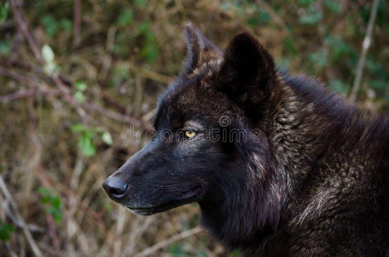 Ο μαύρος λύκος κοιτάζει στοκ φωτογραφία