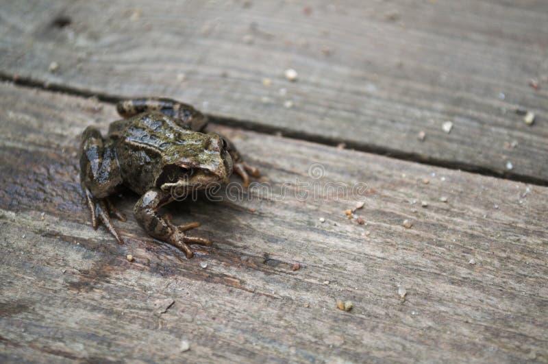 Ο μεγάλος βάτραχος δέντρων κάθεται σε έναν ξύλινο πίνακα στοκ εικόνα με δικαίωμα ελεύθερης χρήσης