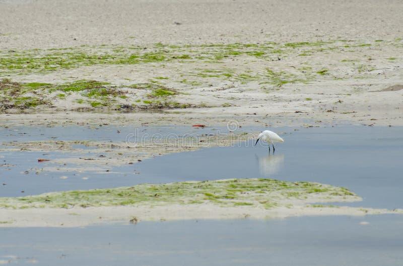 Ο μεγάλος τσικνιάς Ardea alba Zanzibar, Τανζανία - το Φεβρουάριο του 2019 στοκ εικόνες