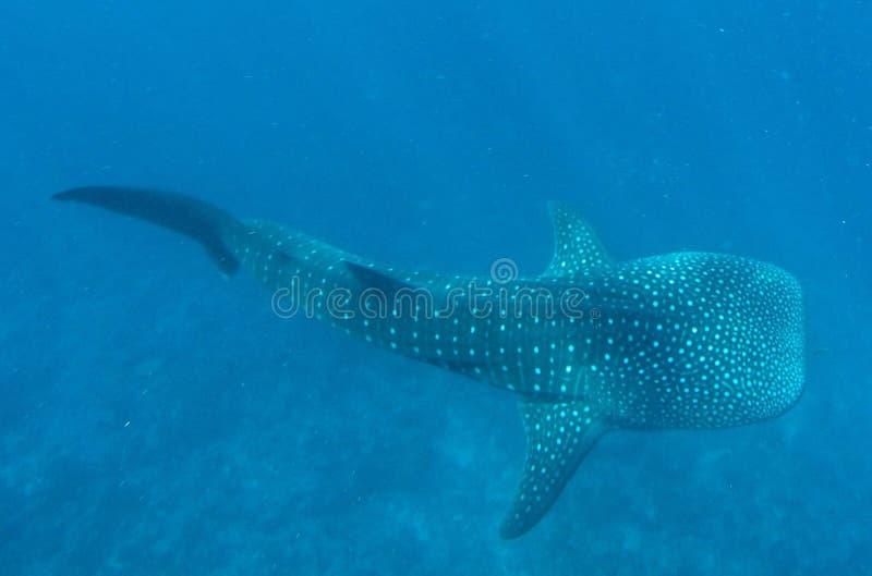 Ο μεγάλος καρχαρίας φαλαινών στοκ εικόνες