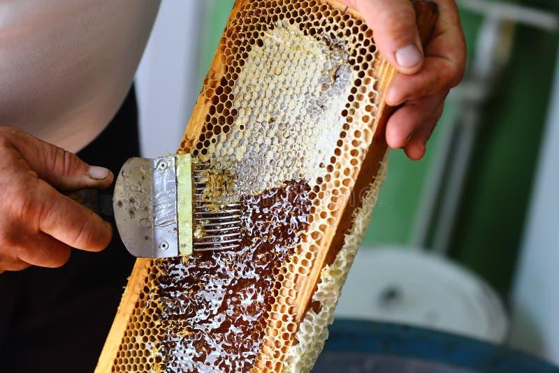 Ο μελισσοκόμος εκπωματίζει την κηρήθρα με την εκπωμάτιση του δικράνου στοκ φωτογραφία με δικαίωμα ελεύθερης χρήσης