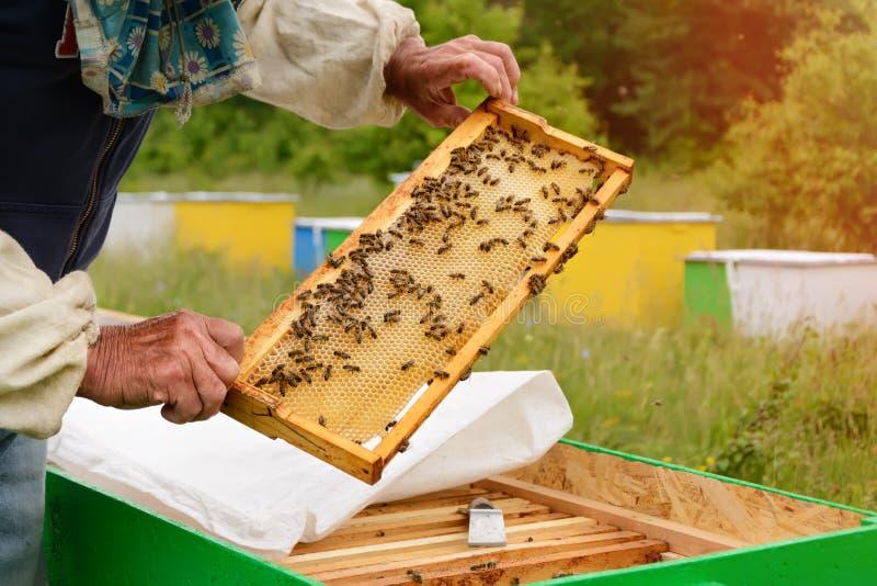 Ο μελισσοκόμος εξετάζει τις μέλισσες στις κηρήθρες Στα χέρια μιας κηρήθρας με το μέλι στοκ φωτογραφία με δικαίωμα ελεύθερης χρήσης