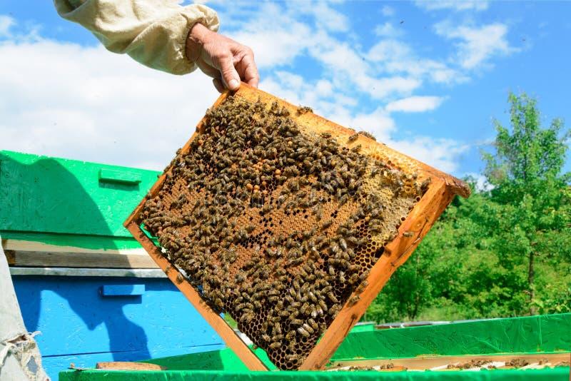 Ο μελισσοκόμος εξετάζει τις μέλισσες στις κηρήθρες Στα χέρια μιας κηρήθρας με το μέλι στοκ εικόνες με δικαίωμα ελεύθερης χρήσης