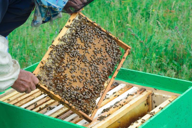 Ο μελισσοκόμος εξετάζει τις μέλισσες στις κηρήθρες Στα χέρια μιας κηρήθρας με το μέλι στοκ εικόνα με δικαίωμα ελεύθερης χρήσης