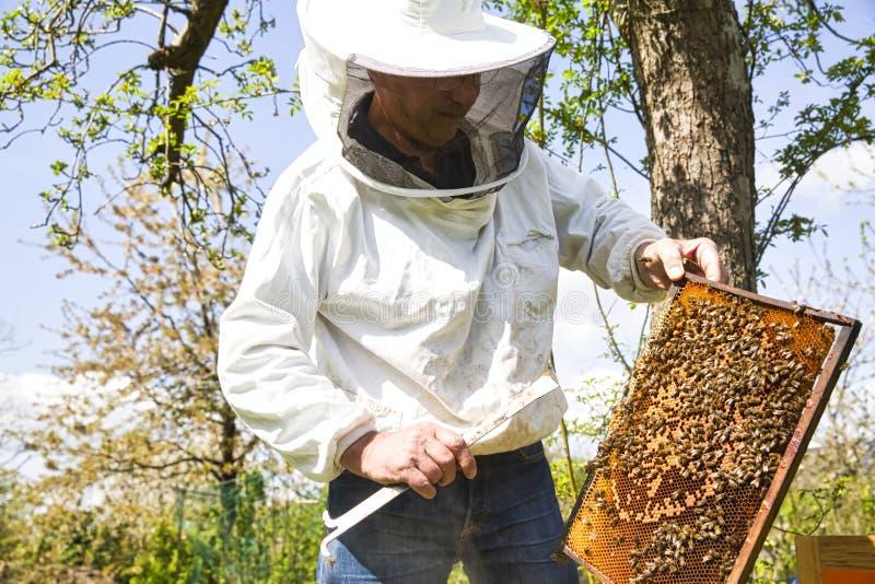 Ο μελισσοκόμος φαίνεται δραστηριότητα σμήνων πέρα από την κηρήθρα στο ξύλινο πλαίσιο, κατάσταση ελέγχου στην αποικία μελισσών στοκ φωτογραφία