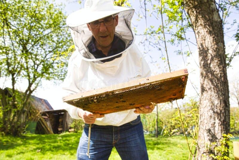 Ο μελισσοκόμος φαίνεται δραστηριότητα σμήνων πέρα από την κηρήθρα στο ξύλινο πλαίσιο, κατάσταση ελέγχου στην αποικία μελισσών στοκ φωτογραφία με δικαίωμα ελεύθερης χρήσης