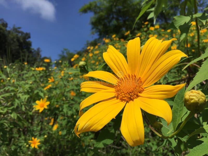Ο μεξικάνικος ηλίανθος αυτό είναι μια ανάπτυξη λουλουδιών στο βόρειο τμήμα της χώρας Και άνθιση λουλουδιών κατά τη διάρκεια του χ στοκ εικόνες