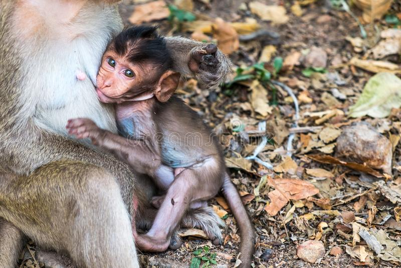 Ο με μακριά ουρά πίθηκος macaque μωρών πίνει το μητρικό γάλα στοκ εικόνα με δικαίωμα ελεύθερης χρήσης