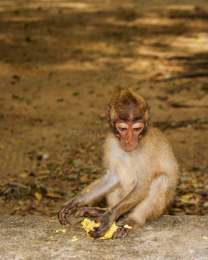Ο με μακριά ουρά πίθηκος Macaque τρώει την μπανάνα κάθισμα βράχων στοκ φωτογραφίες με δικαίωμα ελεύθερης χρήσης