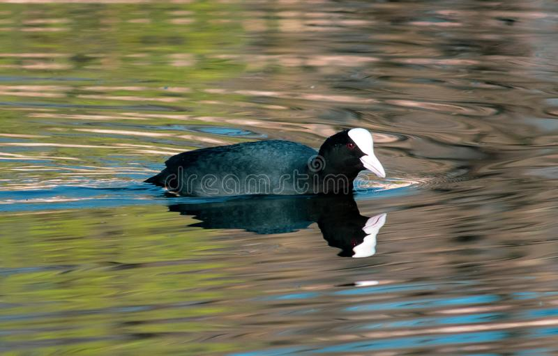 Ο μικρός ευρασιατικός Μαύρος φαλαρίδων με τα κόκκινα μάτια στον ποταμό στοκ εικόνες