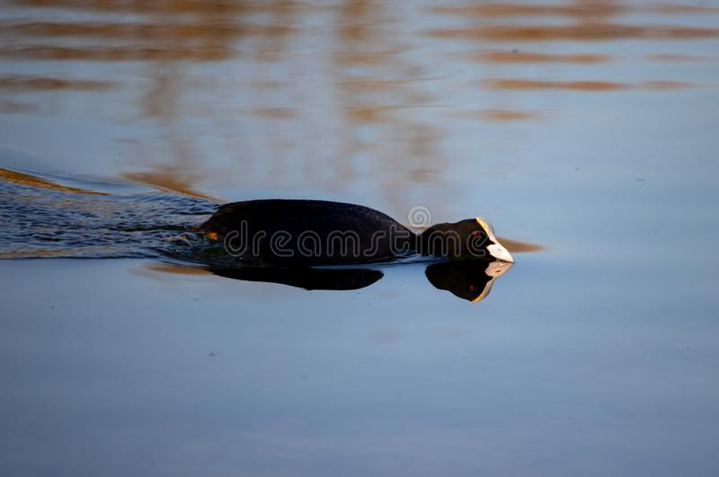 Ο μικρός ευρασιατικός Μαύρος φαλαρίδων με τα κόκκινα μάτια στο νερό στοκ εικόνα με δικαίωμα ελεύθερης χρήσης