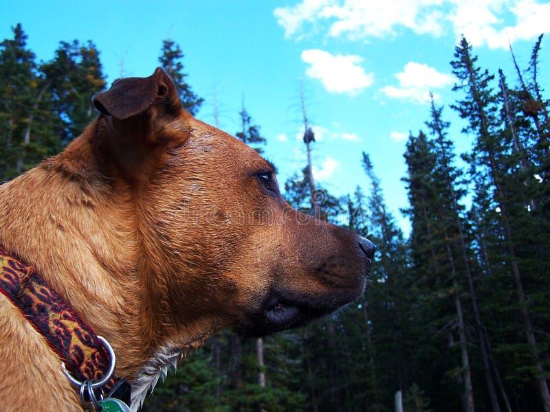 Ο μικτός μπόξερ ridgeback φοβερίζει το σκυλί φυλής στο δάσος στο βουνό στη λίμνη στοκ φωτογραφία με δικαίωμα ελεύθερης χρήσης