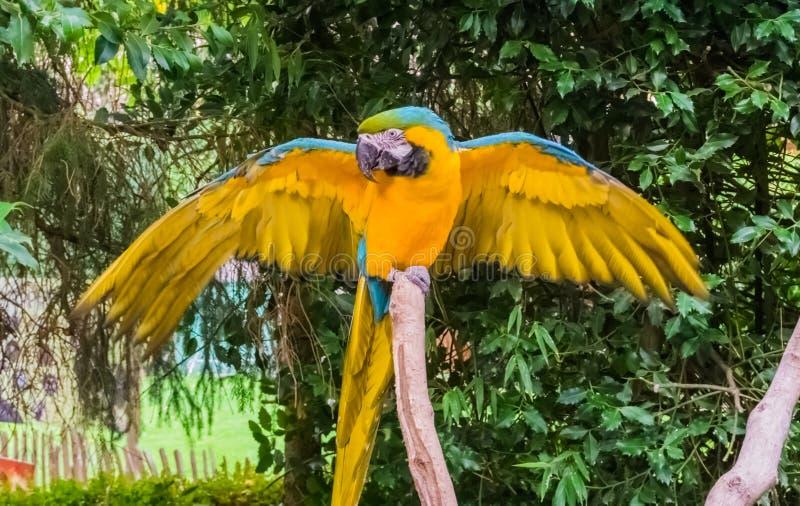 Ο μπλε και κίτρινος παπαγάλος macaw που διαδίδει τα φτερά του ανοίγει και που επιδεικνύει τα φτερά του στοκ φωτογραφίες με δικαίωμα ελεύθερης χρήσης