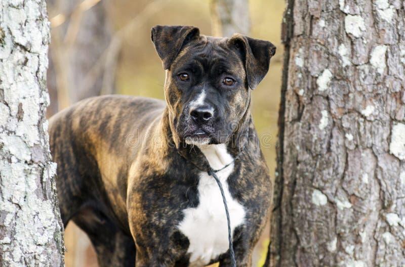 Ο μπόξερ Pitbull Brindle ανάμιξε το σκυλί φυλής έξω στο λουρί στοκ εικόνα με δικαίωμα ελεύθερης χρήσης