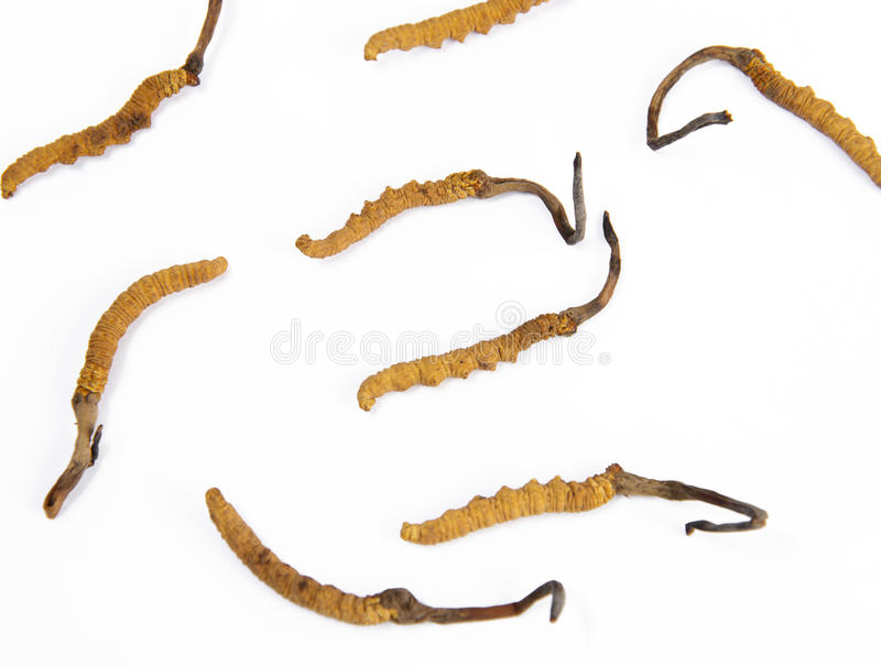 Ο μύκητας του Caterpillar στοκ εικόνες με δικαίωμα ελεύθερης χρήσης