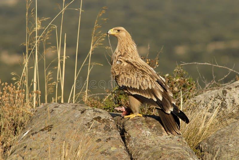 Ο νέος αυτοκρατορικός αετός θέτει σε έναν βράχο στοκ εικόνες
