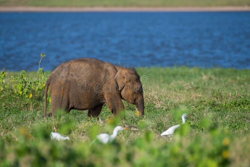 Ο νέος ελέφαντας Sri Lankan, maximus maximus Elephas περπατά στο χαρακτηριστικό βιότοπο Τρώει τη χλόη, στο υπόβαθρο είναι στοκ φωτογραφίες με δικαίωμα ελεύθερης χρήσης