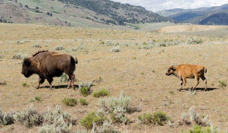 Ο νέος μόσχος Buffalo ακολουθεί τον αρσενικό βίσωνα του Bull στοκ εικόνες με δικαίωμα ελεύθερης χρήσης