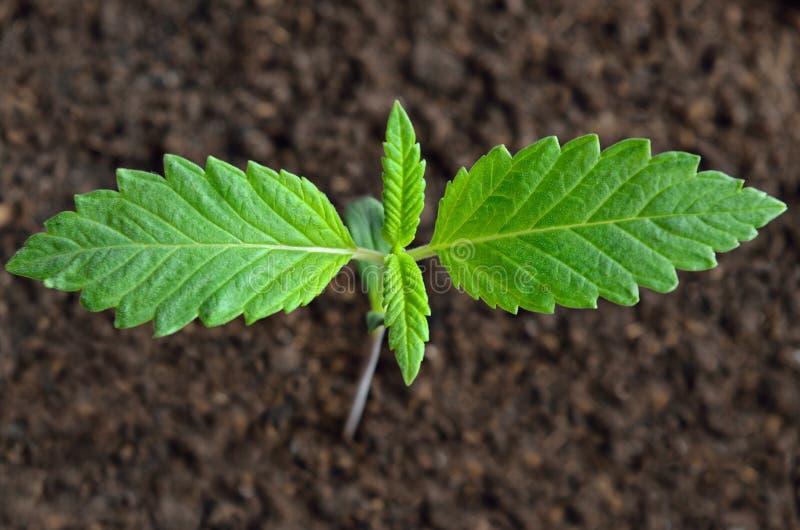 Ο νέος νεαρός βλαστός καννάβεων αυξάνεται στο έδαφος στοκ φωτογραφία με δικαίωμα ελεύθερης χρήσης