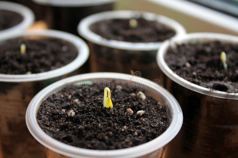 Ο νέος νεαρός βλαστός των πιπεριών αναρριχείται από το χώμα στο εμπορευματοκιβώτιο στοκ εικόνες με δικαίωμα ελεύθερης χρήσης