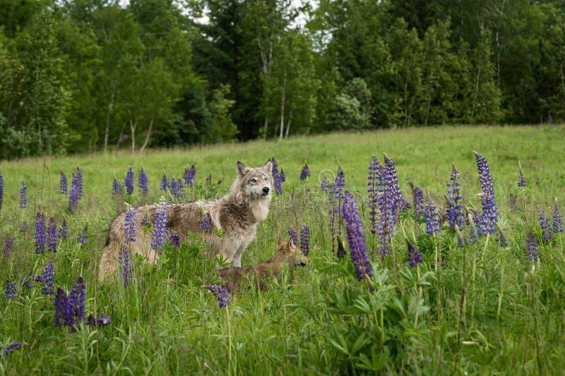 Ο νεανικός γκρίζος Λύκος Canis λύκων ανατρέχει στον τομέα Lupine στοκ φωτογραφίες με δικαίωμα ελεύθερης χρήσης