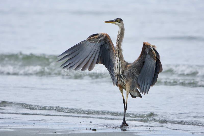 Ο νεανικός μεγάλος μπλε ερωδιός μοιάζει με έναν χορευτή όπως στέκεται με τα φτερά που διαδίδονται στοκ φωτογραφία με δικαίωμα ελεύθερης χρήσης