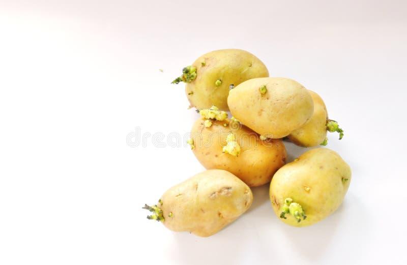 Ο νεαρός βλαστός πατατών λευκαίνει επάνω το υπόβαθρο στοκ εικόνες