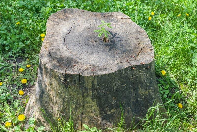 Ο νεαρός βλαστός του δέντρου κάστανων αυξάνεται σε ένα στέλεχος στοκ εικόνα με δικαίωμα ελεύθερης χρήσης