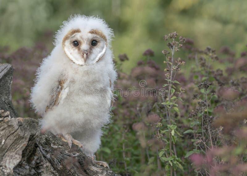 Ο νεαρός Δυτικός Αχυρώνας Owl Tyto Alba κάθεται σε ένα κούτσουρο στοκ φωτογραφίες με δικαίωμα ελεύθερης χρήσης