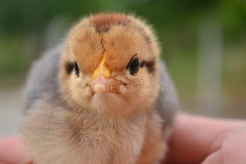 Ο νεοσσός θα αυξηθεί το κοτόπουλο στοκ εικόνες