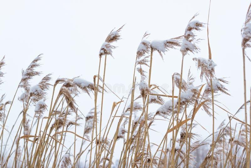 Ο ξηρός παράκτιος κάλαμος με το χιόνι, κάθετο υπόβαθρο φύσης Χειμώνας στο λιβάδι στοκ φωτογραφία