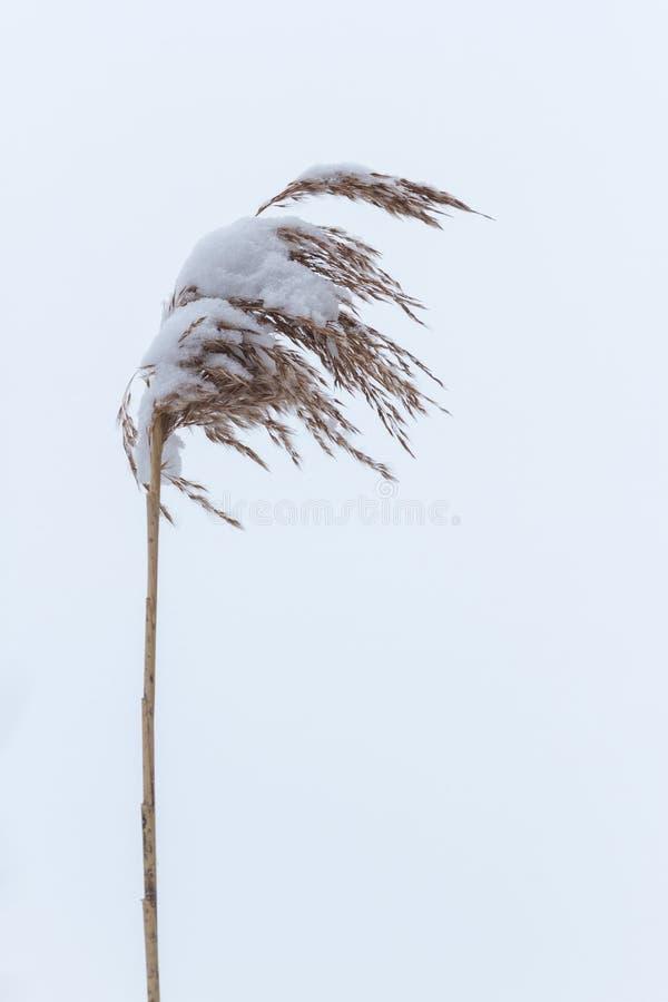 Ο ξηρός παράκτιος κάλαμος με το χιόνι, κάθετο υπόβαθρο φύσης Χειμώνας στο λιβάδι στοκ φωτογραφία με δικαίωμα ελεύθερης χρήσης