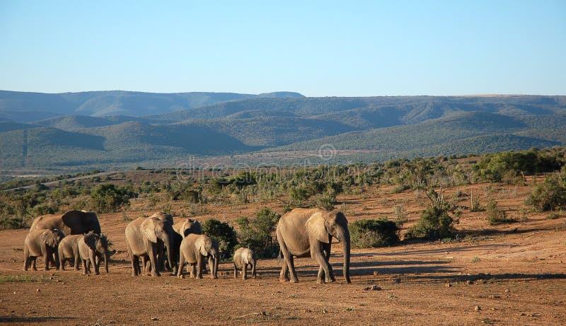Οδοιπορία κοπαδιών ελεφάντων στοκ φωτογραφίες με δικαίωμα ελεύθερης χρήσης