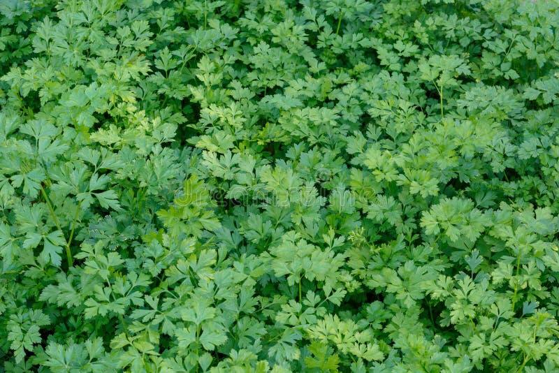Ο ορεκτικός φρέσκος πράσινος μαϊντανός αυξάνεται στο κρεβάτι κήπων ως υπόβαθρο ή σκηνικό στοκ φωτογραφίες